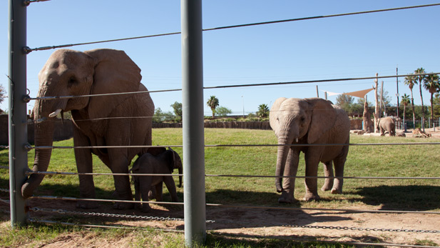 Semba, baby elephant, elephant friend at Reid Park SPOT