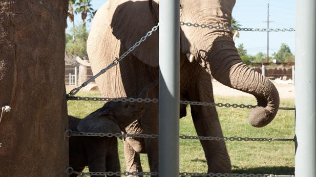 Semba, baby elephant at Reid Zoo SPOT