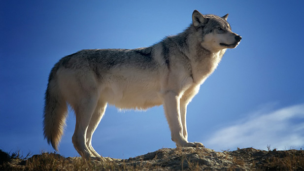 A gray wolf stands on a rock.
