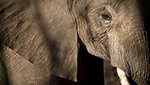 The elephant has 100 times more cells than humans, but a far lower incidence rate of cancer.