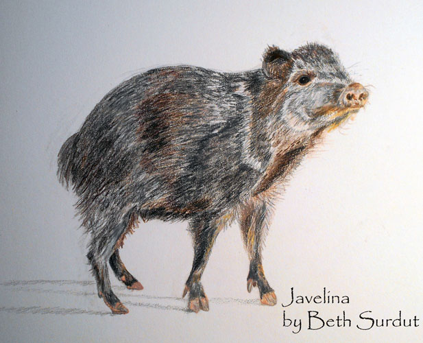 javalina art unsized