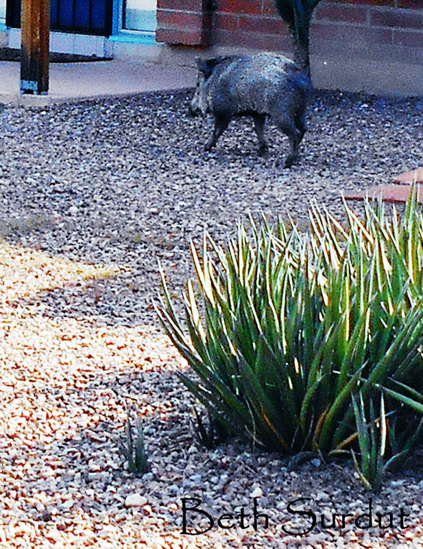 javalina up close unsized