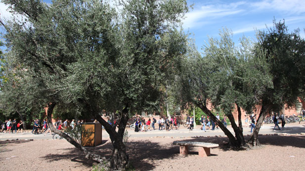 The University of Arizona's main campus has hundreds of fruit-bearing plants including these olive trees.