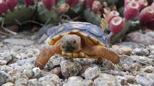 A baby Sonoran desert tortoise.
