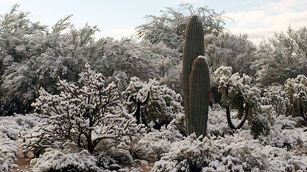 Snow collects on cactus on Tucson's northwest side.