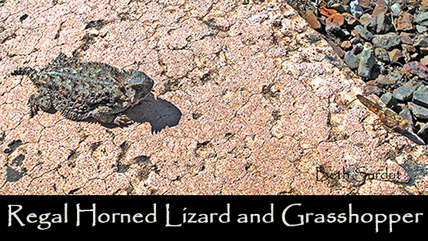 regal horned lizard spotlight