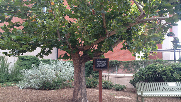 An American sycamore tree that grew from seeds flown to the Moon on Apollo 14 has stood next to the University of Arizona's Kuiper Space Sciences Building since April 1976.