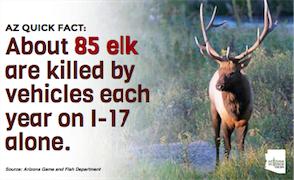 Elk road kill graphic focus large