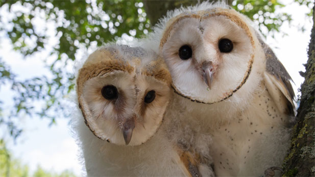 Barn owl chicks Luna and Lily sitting in a tree.