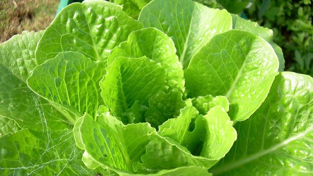 Fresh Lettuce, Vegetables, Farming