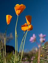Wildflowers Picacho