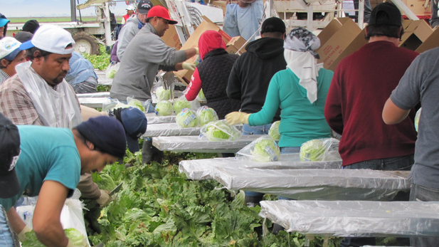 Field workers harvest lettuce in Yuma, February 2015.