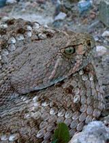 Rattlesnake Portrait