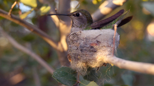 A broad-tailed hummingbird in Arizona sits in the nest she built.