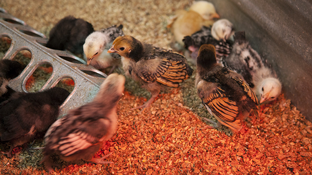 Baby chickens are pictured at the Arizona Feeds Country Store in South Tucson on April 2, 2015.