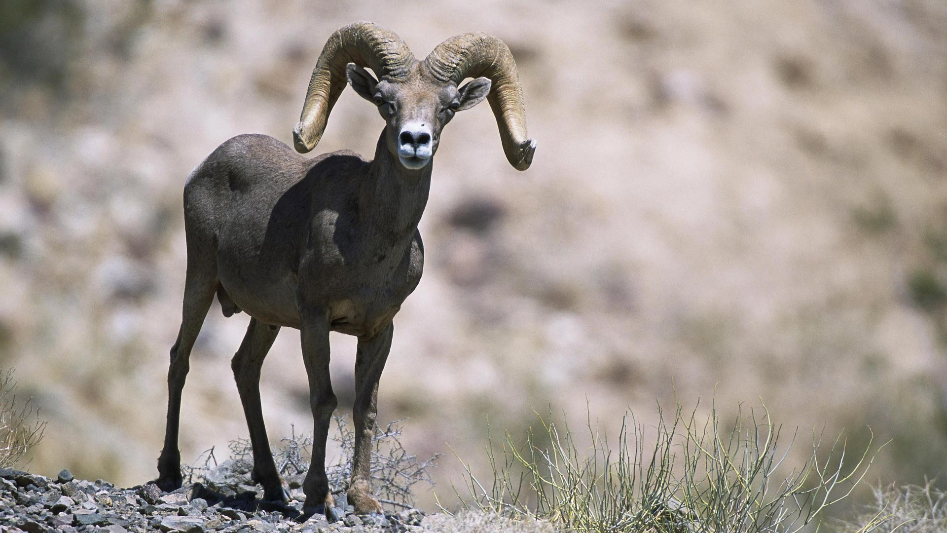 Bighorn Sheep hero