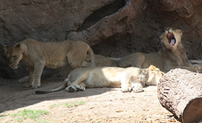 lion cubs yawn in shade focus large