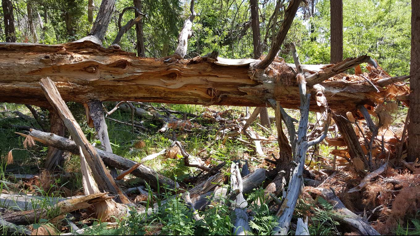Mt. LemmonMt. Lemmon, Catalina Mountains fallen log hero