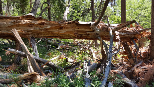 A fallen log on Mt. Lemmon, Coronado National Forest.