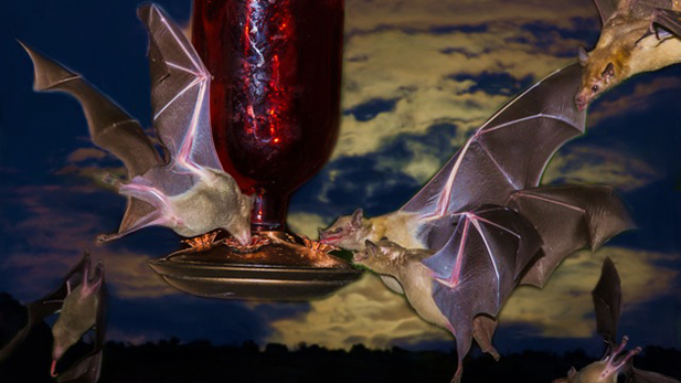 A photo composition of lesser long-nosed bats (Leptonycteris yerbabuenae) feeding at a Tucson-area hummingbird feeder in 2014.