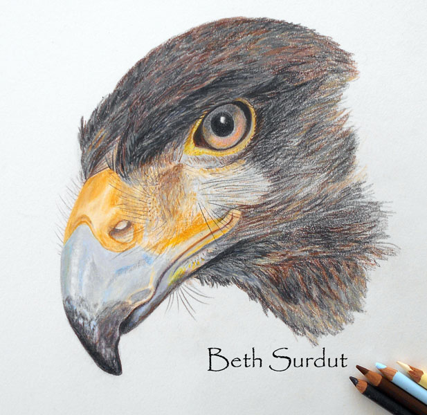 beth surdut hawk illustration