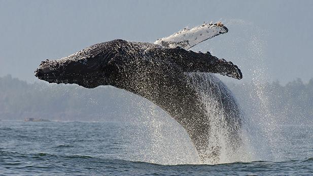 Humpback whale (Megaptera novaeangliae) adult breaching, Vancouver Island, British Columbia, Canada