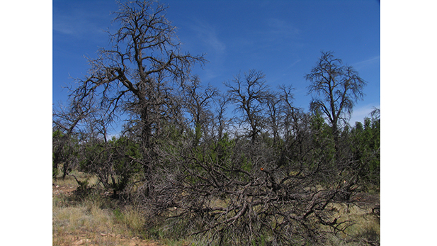 Dead pinyon trees, with smaller surviving one-seed juniper, in the Jemez Mountains of New Mexico.