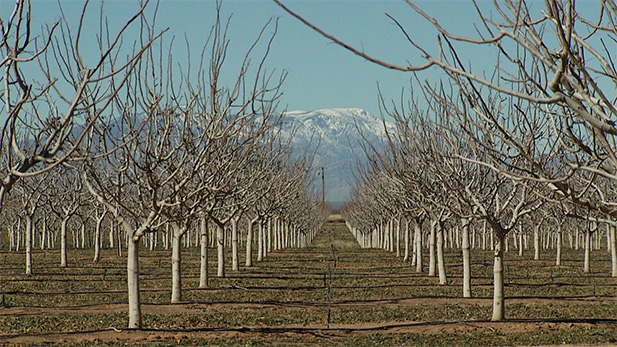 Young pistachio trees planted in 2010 by Mark Cook's company North Bowie Farming. The trees were planted in 2010 and are nearing maturity. Cook said if planting is not done wisely, water will become too expensive and farming will no longer be economically viable in the area.