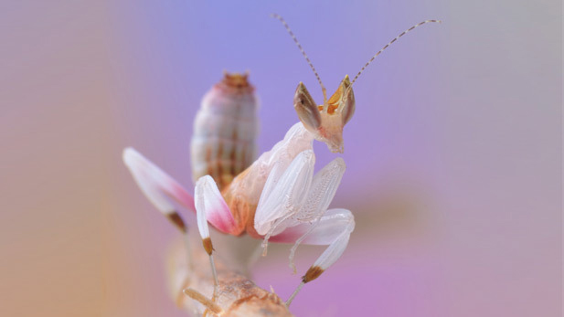 Looking just like a flower, orchid mantises use aggressive mimicry to lure in their prey.