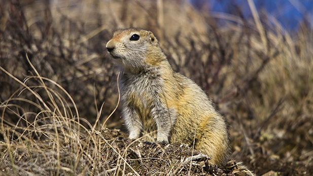 Arctic ground squirrel 2 spot