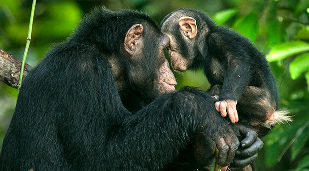 Two chimpanzees in Tchimpounga National Park.