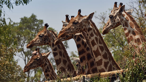 Six wild endangered Rothschild's giraffes, one carrying a satellite transmitter, look out of the vehicle that has taken them to a new release site.