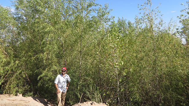 Naturally-germinated willow trees in a cleared Colorado River delta restoration site, pictured with University of Arizona graduate student Hector Zamora, 2016.