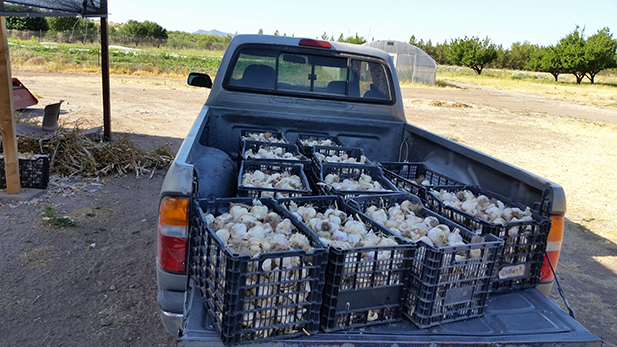 Forever Yong's garlic harvest is ready to go to market.