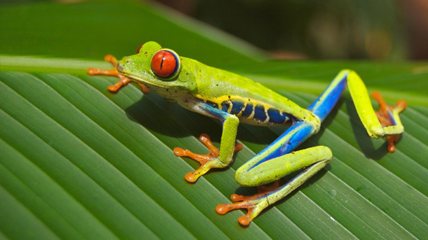 A brightly-colored tree frog.