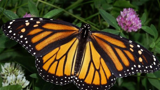 Monarch Butterfly spot