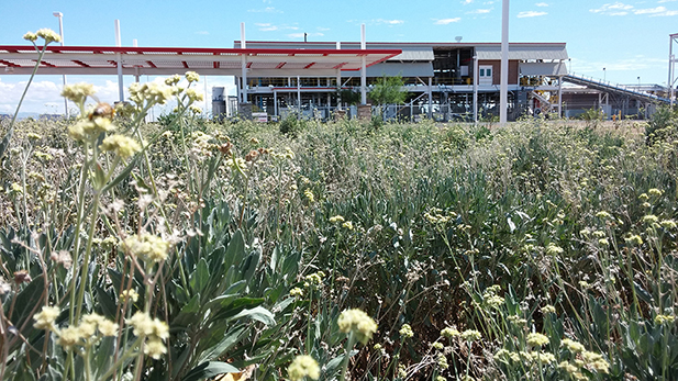Guayule shrubs growing in front of Bridgestone's Biorubber Process Research Center.