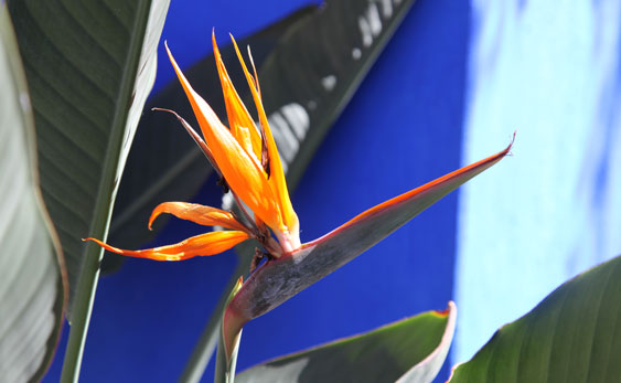 A bird of paradise is one of the many flowers at the Frida Kahlo exhibit.
