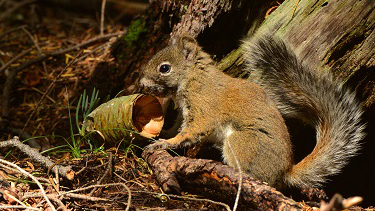 Mt. Graham squirrel