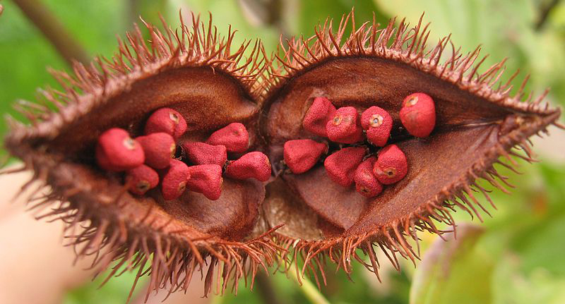 Open fruit of Bixa orellana, showing the seeds from which annatto is extracted.