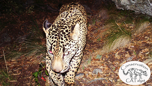 An image of El Jefe, the only known jaguar in the United States, on video in the Santa Rita Mountains.