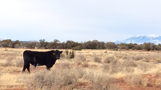 A bull grazes on a ranch east of Flagstaff.
