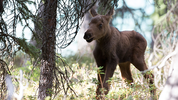 Little calf at 5 days old, Jasper National Park, Alberta, Canada