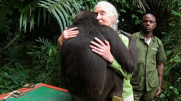 Dr. Jane Goodall receives spontaneous embrace from Wounda before release.