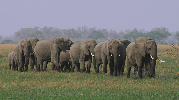 An elephant breeding herd on the move.
