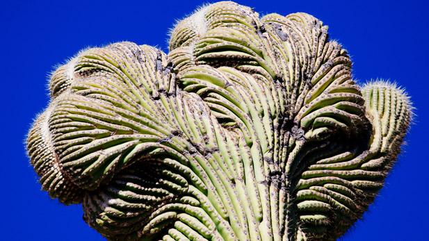 A crested saguaro.