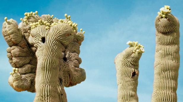 Crested Saguaro spot