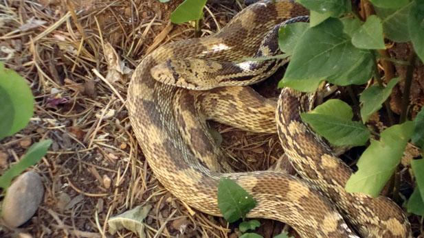 snake spotlight