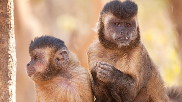 Pair of capuchin monkeys.