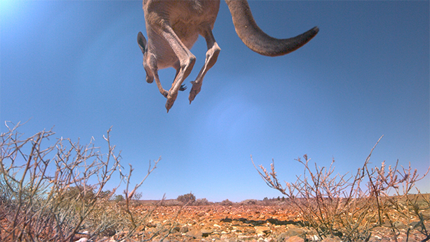 A Red kangaroo's elastic tendons help make its hop the most efficient way of travelling on land; enabling kangaroos to find water on one of the driest continents on earth.